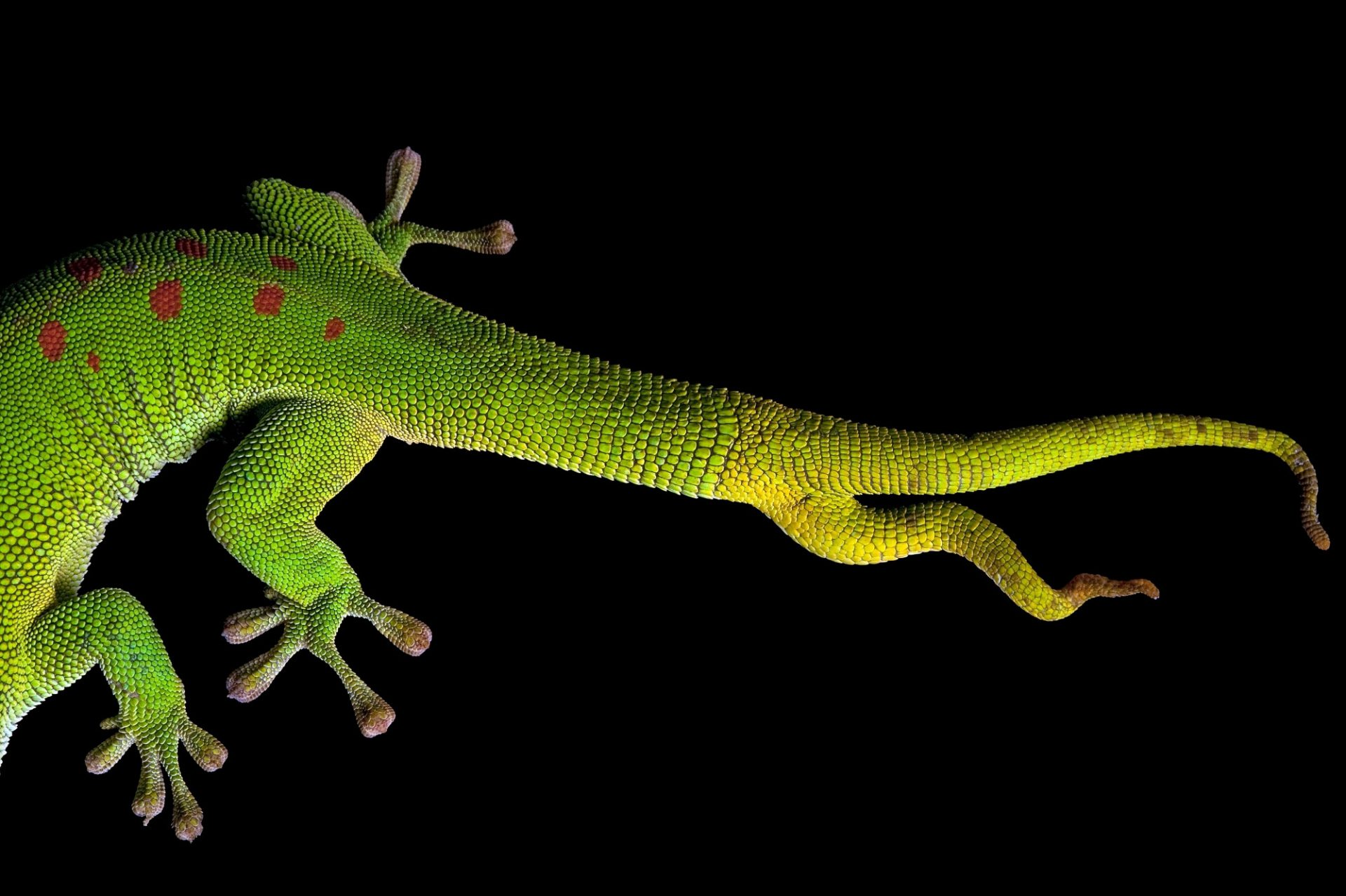 The tail of a giant day gecko (Phelsuma madagascariensis grandis) from a private collection.