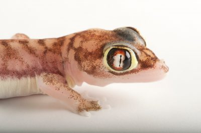 A web-footed gecko (Palmatogecko rangei) at the Omaha Zoo. This species evolved webbing on the feet so it can travel over the sand dunes of Namibia with ease.