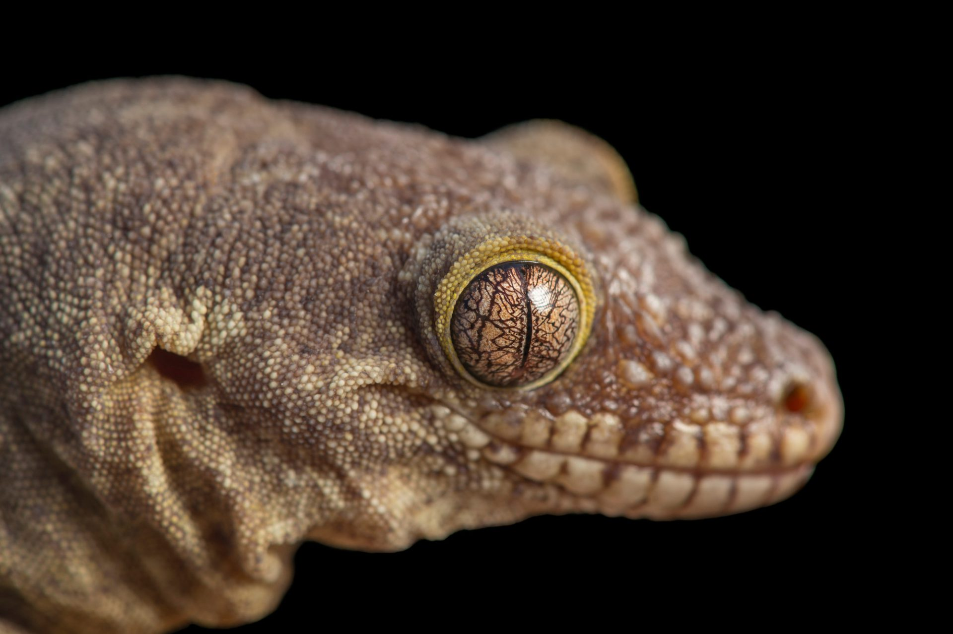 Picture of an endangered rough-snouted giant gecko (Rhacodactylus trachyrhynchus) at the Palm Beach Zoo.