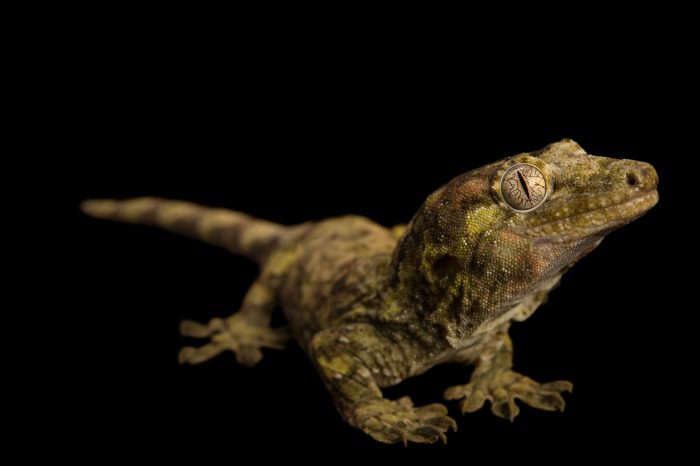Picture of a vulnerable mossy New Caledonian gecko (Rhacodactylus chahoua) at Pet Paradise.