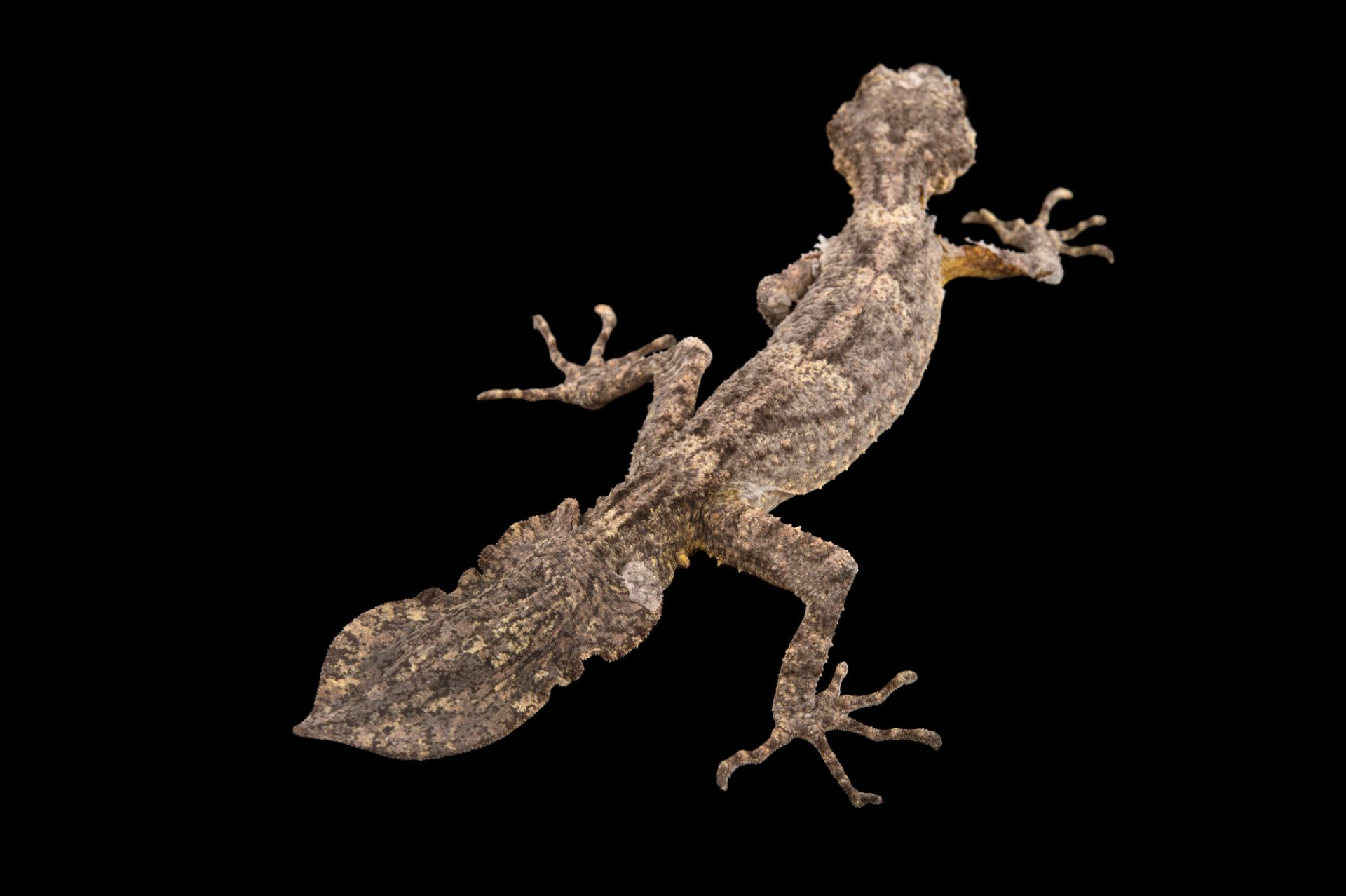 Picture of a Southern leaf-tailed gecko (Saltuarius swaini) at the Healesville Sanctuary.