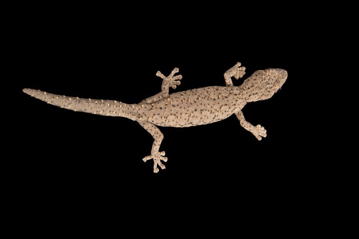 Photo: An Eastern spiny-tailed gecko (Strophurus williamsi) at the Healesville Sanctuary.