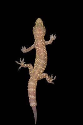 A Mediterranean house gecko (Hemidactylus turcicus) at the Chattanooga Zoo.