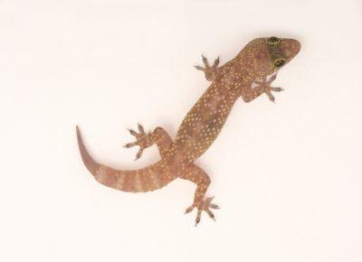 A Mediterranean gecko (Hemidactylus turcicus) at the Chattanooga Zoo.