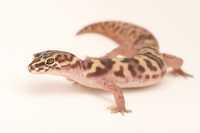Picture of a Western banded gecko (Coleonyx variegatus) at the Cheyenne Mountain Zoo.
