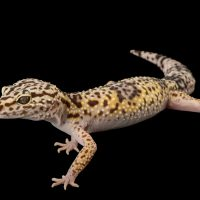 Picture of a western leopard gecko or Iranian fat-tailed gecko (Eublepharis angramainyu) at the Saint Louis Zoo.