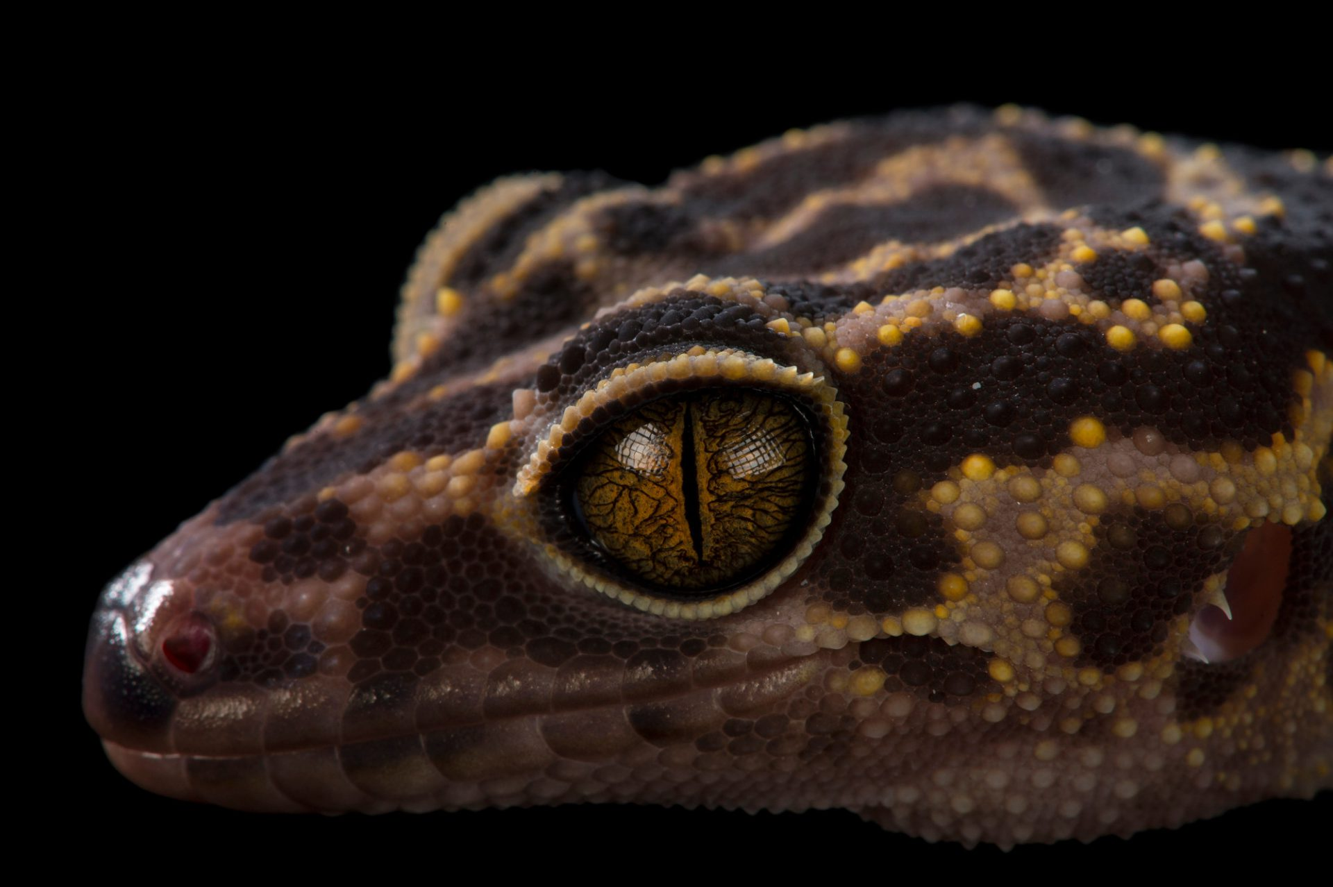 Picture of a cat ba cave gecko (Goniurosaurus catbaensis) at the St. Louis Zoo.