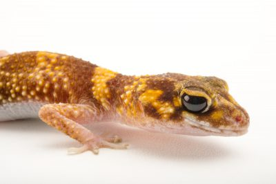 A barking gecko or thick-tailed gecko (Underwoodisaurus milii) at the Tennessee Aquarium.
