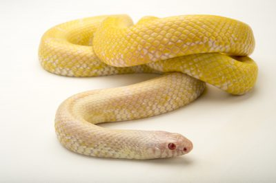 A common kingsnake or albino eastern kingsnake (Lampropeltis getula getula) at the Tennessee Aquarium.