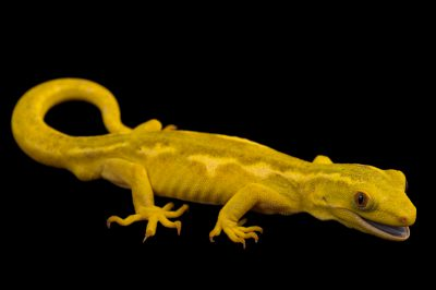Picture of an Auckland green gecko (Naultinus elegans elegans), yellow color phase, at the Wellington Zoo.