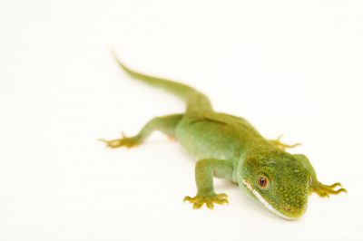 Picture of an Auckland green gecko (Naultinus elegans elegans) at the Wellington Zoo.