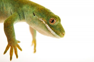Picture of an Auckland green gecko (Naultinus elegans elegans) at the Wellington Zoo