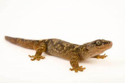Photo: Grey gecko (Woodworthia maculatus) at the Wellington Zoo.