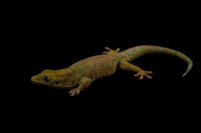 A reunion Island day gecko (Phelsuma borbonica borbonica) at the Henry Doorly Zoo and Aquarium.
