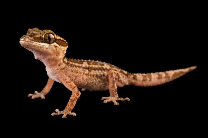 Photo: Stumpff's Madagascar ground gecko, Paroedura stumpffi, at the Plzen Zoo.