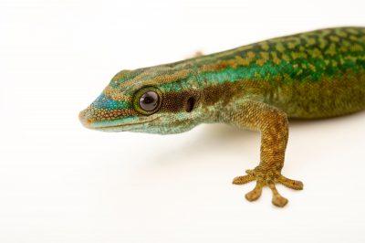 Photo: A critically endangered Reunion Island ornate day gecko, Phelsuma inexpectata, at the Plzen Zoo.