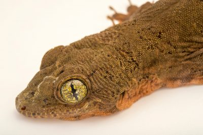 Photo: Halmahera giant gecko, Gehyra vorax, at the Plzen Zoo.