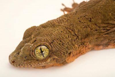Photo: Halmahera giant gecko, Gehyra vorax, at the Plzen Zoo.