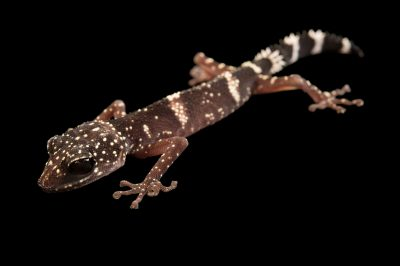 Photo: An endangered Masobe gecko, Paroedura masobe, from a private collection.