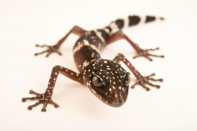 Photo: A Masobe gecko, Paroedura masobe, from a private collection.