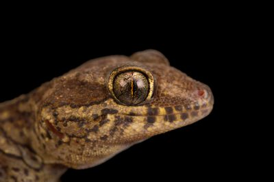 Photo: A Panther Gecko, Paroedura picta, from a private collection.