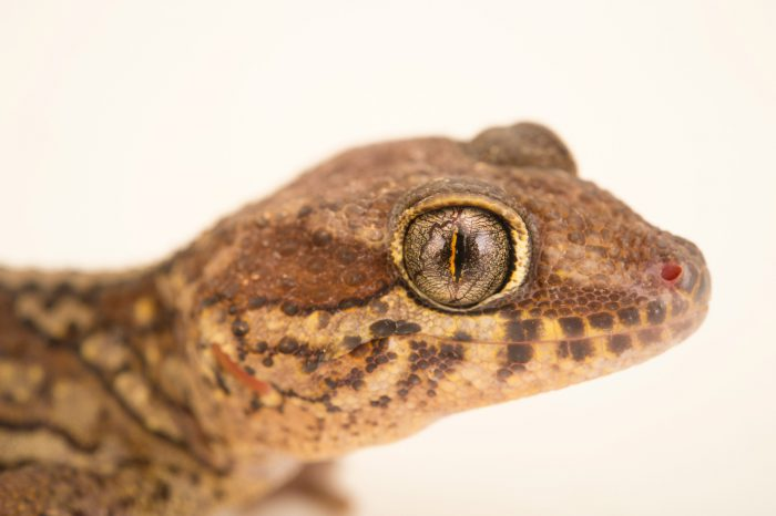 Photo: A painted Madagascar gecko, Paroedura picta, from a private collection.