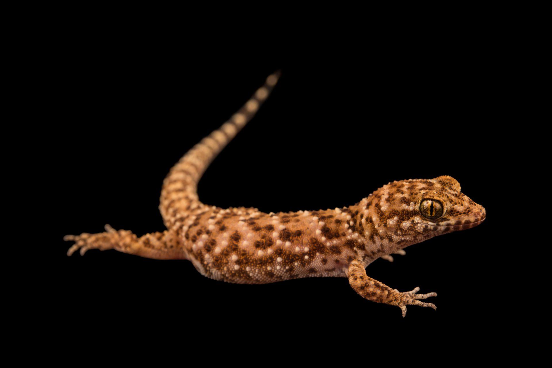Photo: A prickly gecko (Heteronotia binoei) at Omaha's Henry Doorly Zoo.