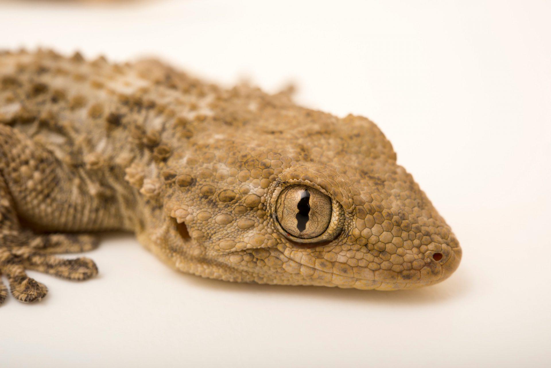 """Photo: A common wall gecko (Tarentola mauritanica mauritanica) at Centro Fauna Selvatica """"Il Pettirosso""""."""