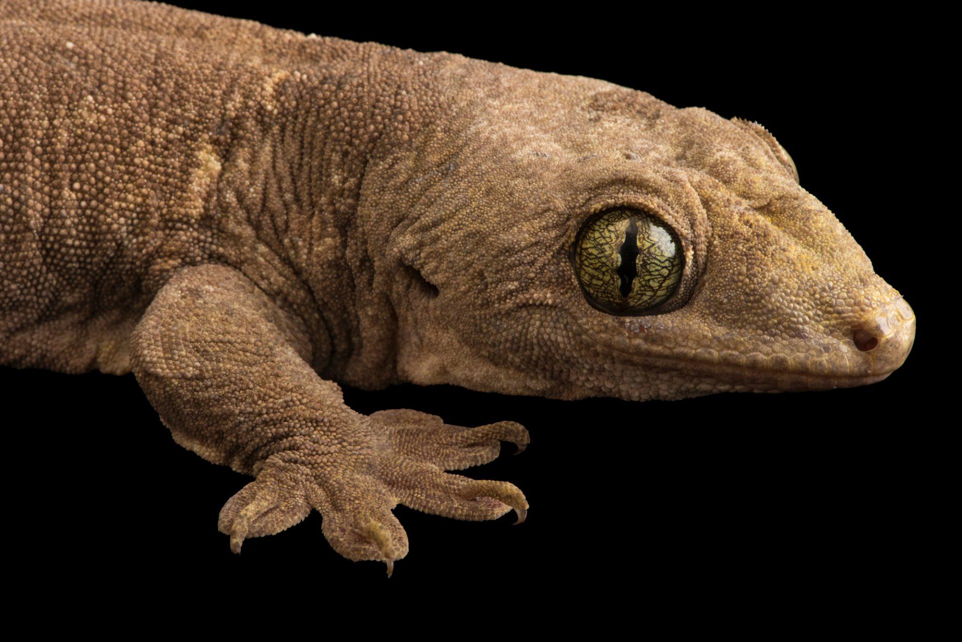 Photo: Halmahera giant gecko (Gehyra marginata) at the Hutchinson Zoo. Stupid obvious.