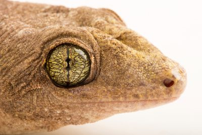 Photo: Halmahera giant gecko (Gehyra marginata) at the Hutchinson Zoo.