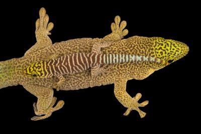 Photo: Standings day geckos (Phelsuma standingi) at the Plzen Zoo in the Czech Republic.