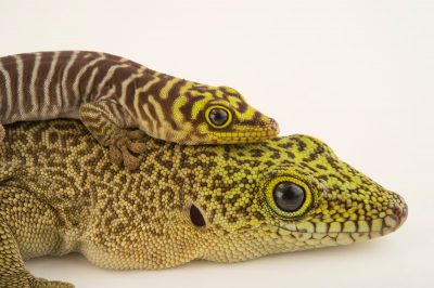Photo: Standings day geckos (Phelsuma standingi) at the Plzen Zoo in the Czech Republic.