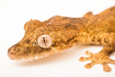 Photo: An endangered Guenther's leaf-tail gecko (Uroplatus guentheri) from a private collection.