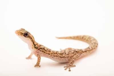 Photo: A Vulnerable (IUCN) Malagasy salamander gecko (Matoatoa brevipes) from a private collection.