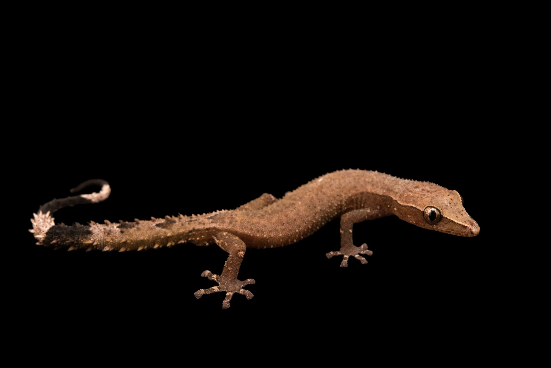 Photo: Madagascar clawless gecko (Ebenavia inunguis) from a private collection.