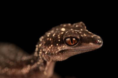 Photo: A vulnerable kuroiwa's ground gecko (Goniurosaurus kuroiwae) from a private collection.