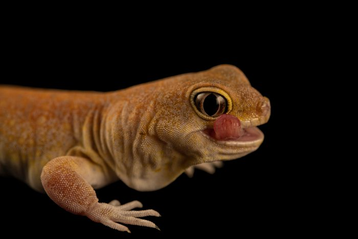 Photo: Koch's barking gecko (Ptenopus kochi) from a private collection.