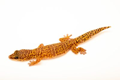 Photo: Marble velvet gecko (Oedura marmorata) at Lilydale High School in Australia.