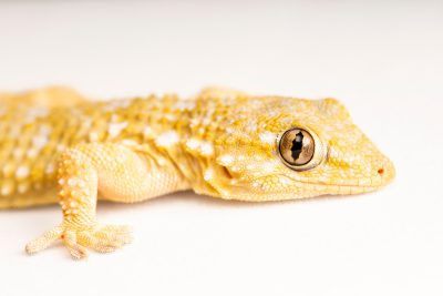 Photo: Common wall gecko (Tarentola mauritanica) at University of Porto, in Portugal