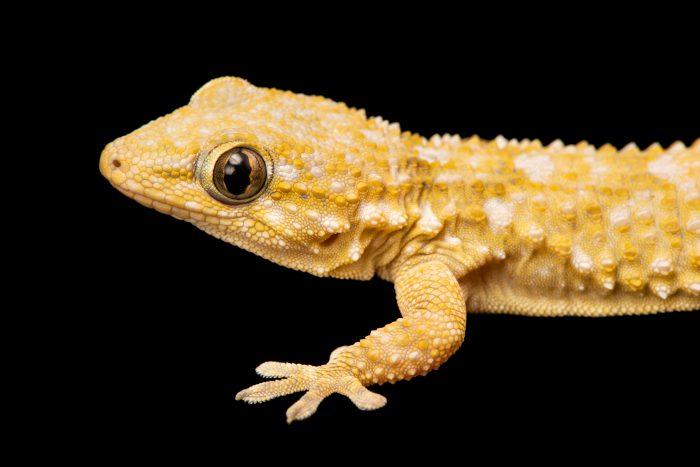 Common wall gecko (Tarentola mauritanica mauritanica) at University of Porto, in Portugal