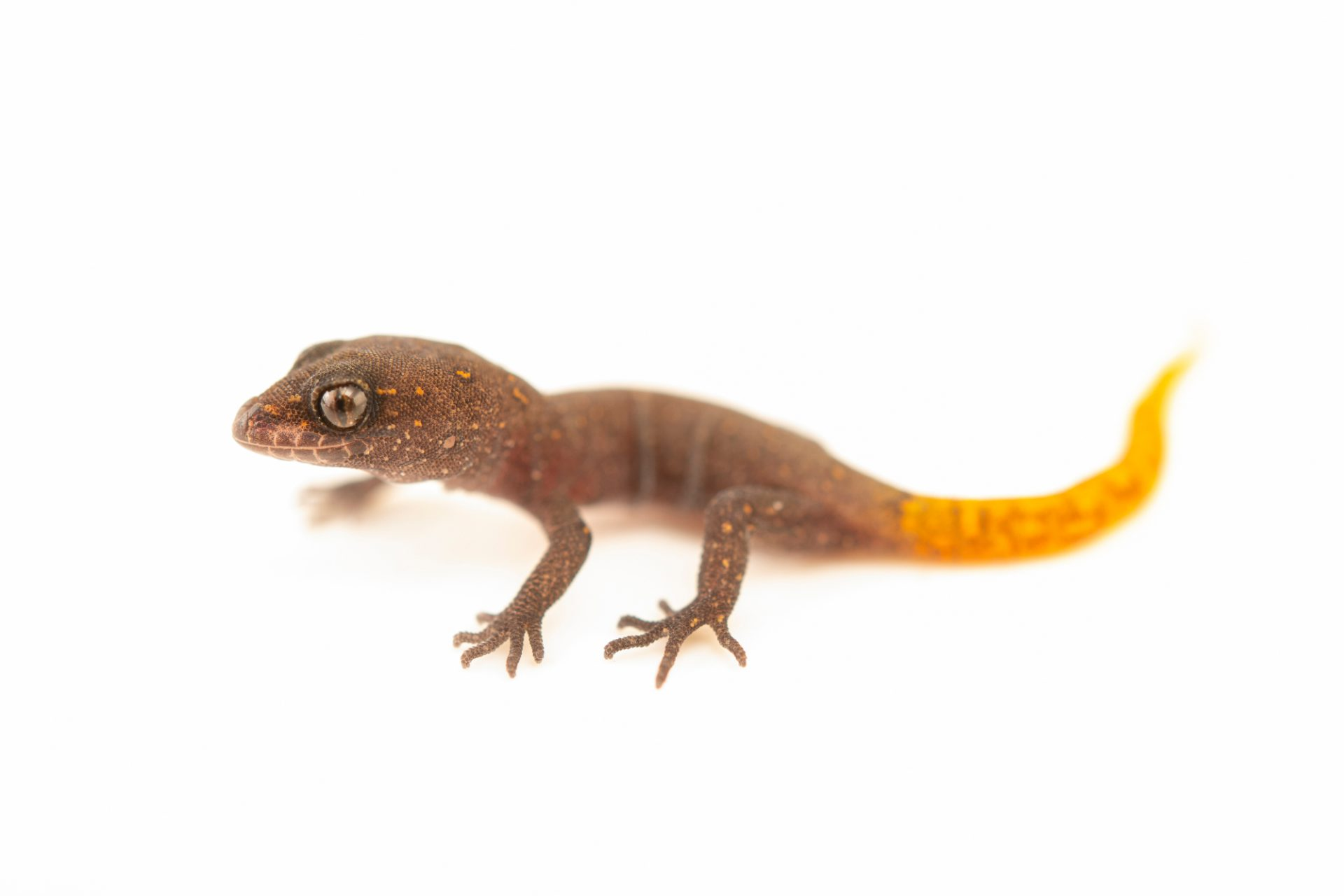 Photo: A juvenile Morocco lizard-fingered gecko (Saurodactylus brosseti) from a private collection.