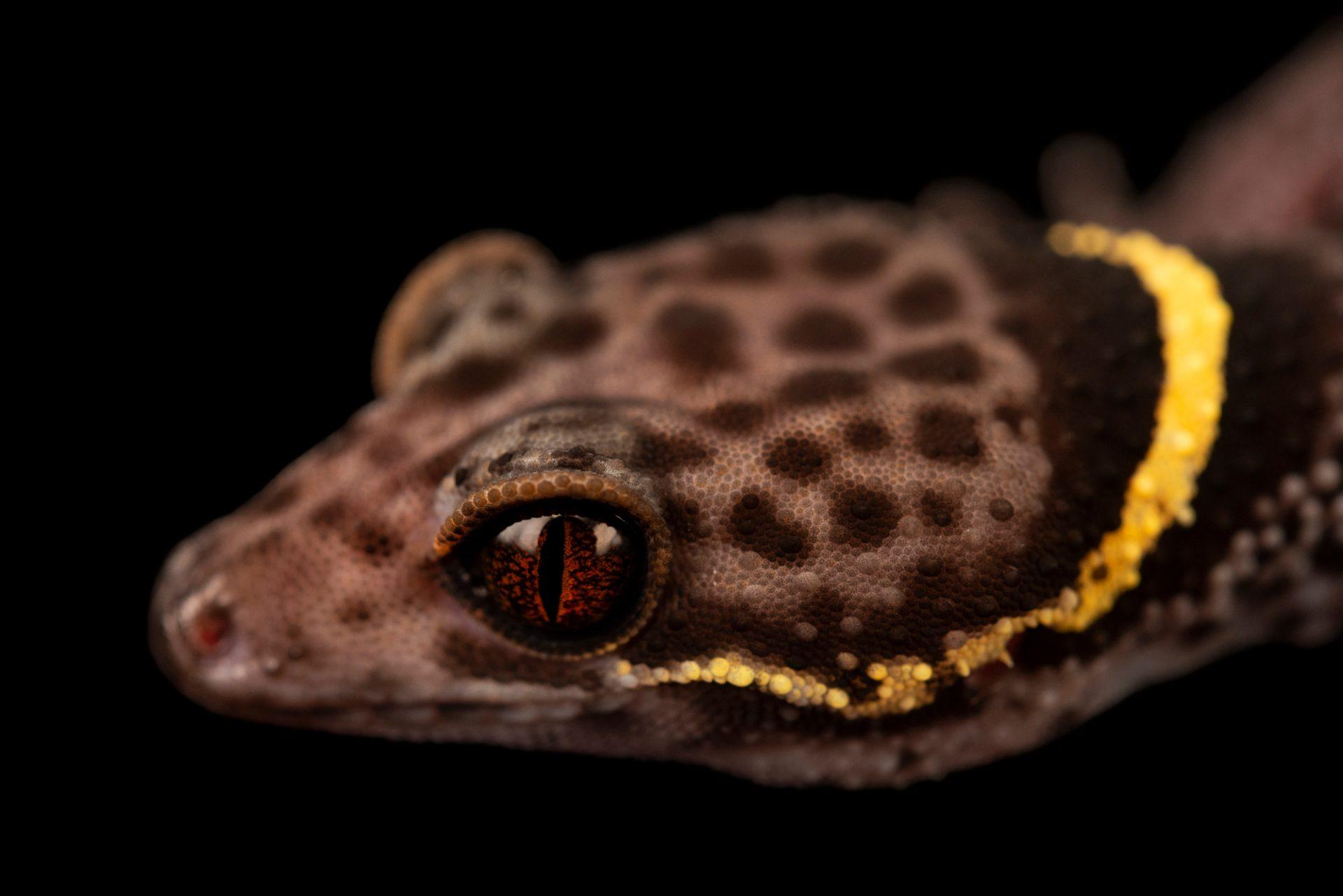 Photo: Chinese cave gecko (Goniurosaurus hainanensis) at Loro Parque.