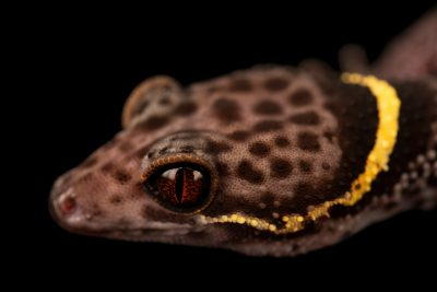 Photo: Chinese cave gecko (Goniurosaurus hainanensis) at Loro Parque.