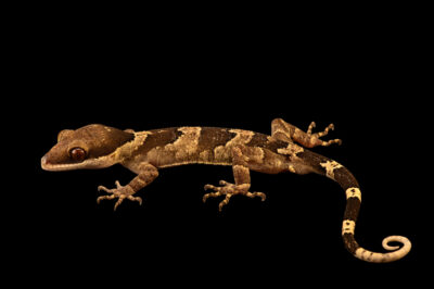 Photo: A giant bent-toed gecko (Cyrtodactylus irianjayensis) at a private collection.