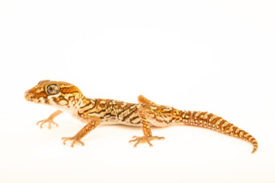 Photo: A Madagascar ground gecko (Paroedura pictus) at a private collection.