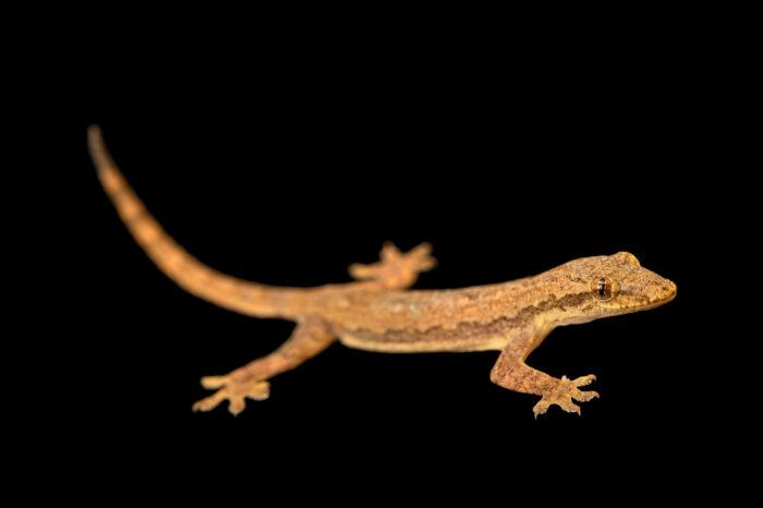 Photo: A common house gecko (Hemidactylus frenatus) at Petra Aqua.