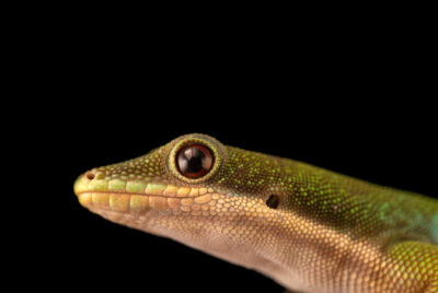 Photo: A peacock day gecko (Phelsuma quadriocellata) at Petra Aqua.