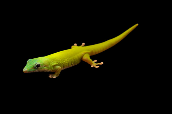 Photo: An Andaman day gecko (Phelsuma andamanense) at the Plzen Zoo in the Czech Republic.