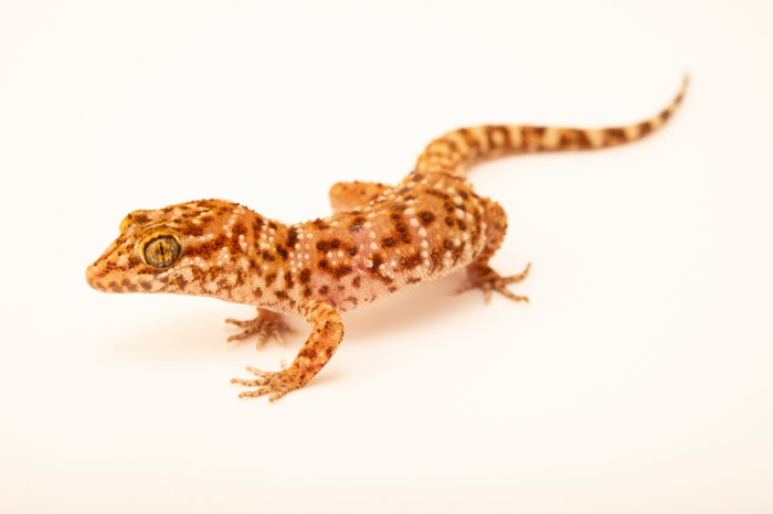 Photo: A prickly gecko (Heteronotia binoei) at the Sedgwick County Zoo in Wichita, Kansas.