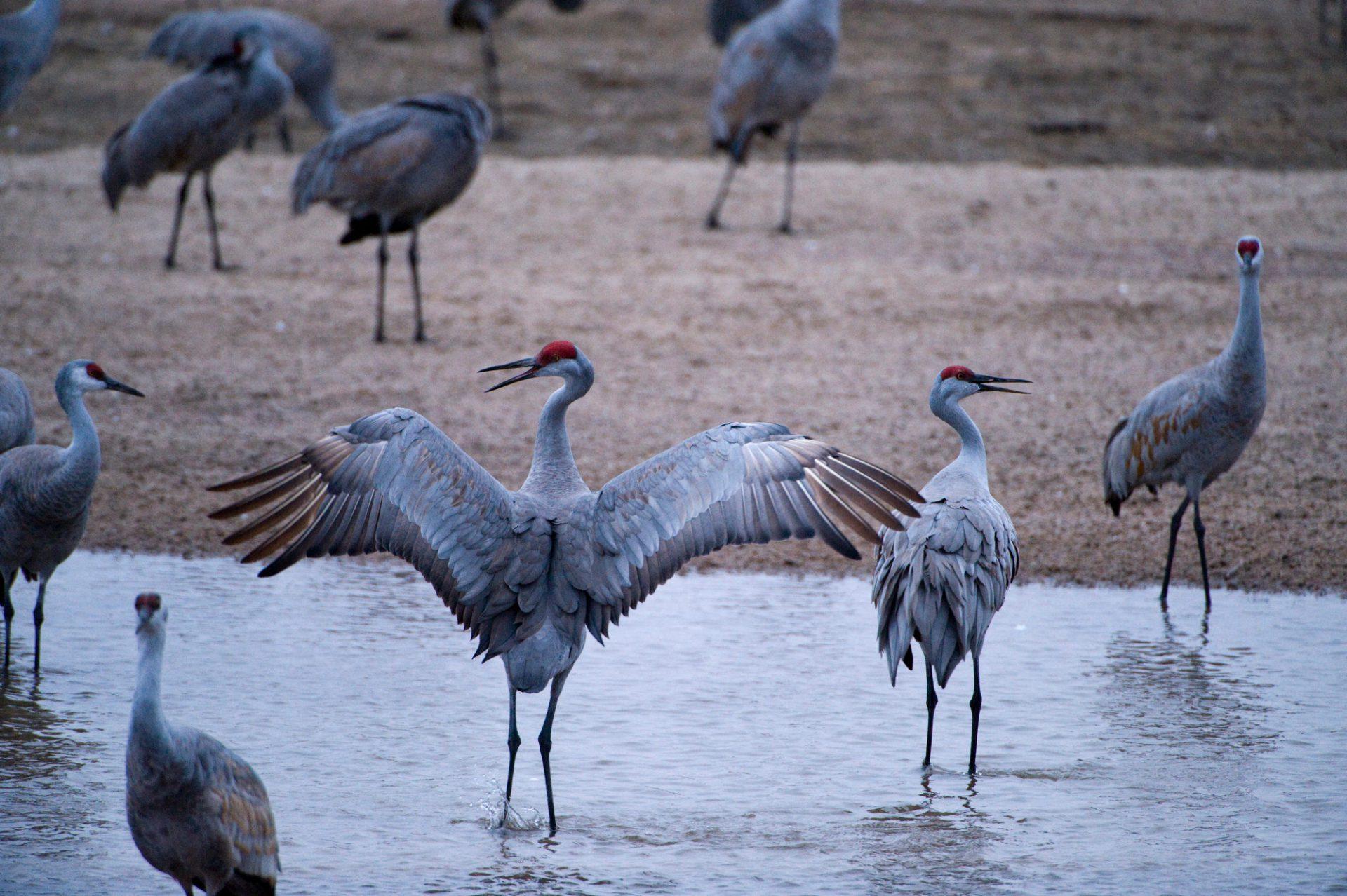 Sandhill Crane National Geographic >> Ani082 00005 Joel Sartore